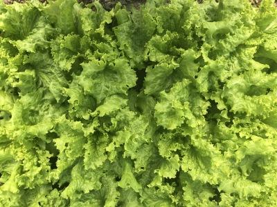 Krokainie salāti